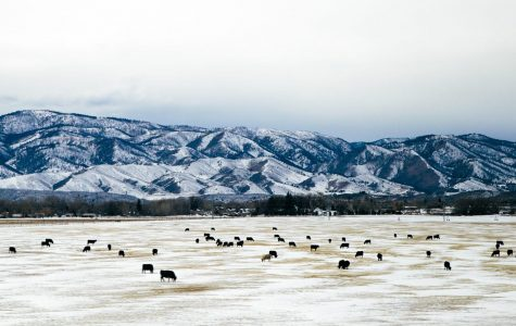 Cattle withstand winter chill when you can't